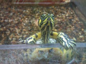 Acquario per tartarughe perfetto in 13 passi acquario facile for Accessori acquario tartarughe