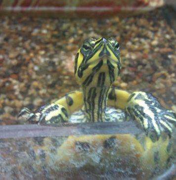 acquario tartarughe