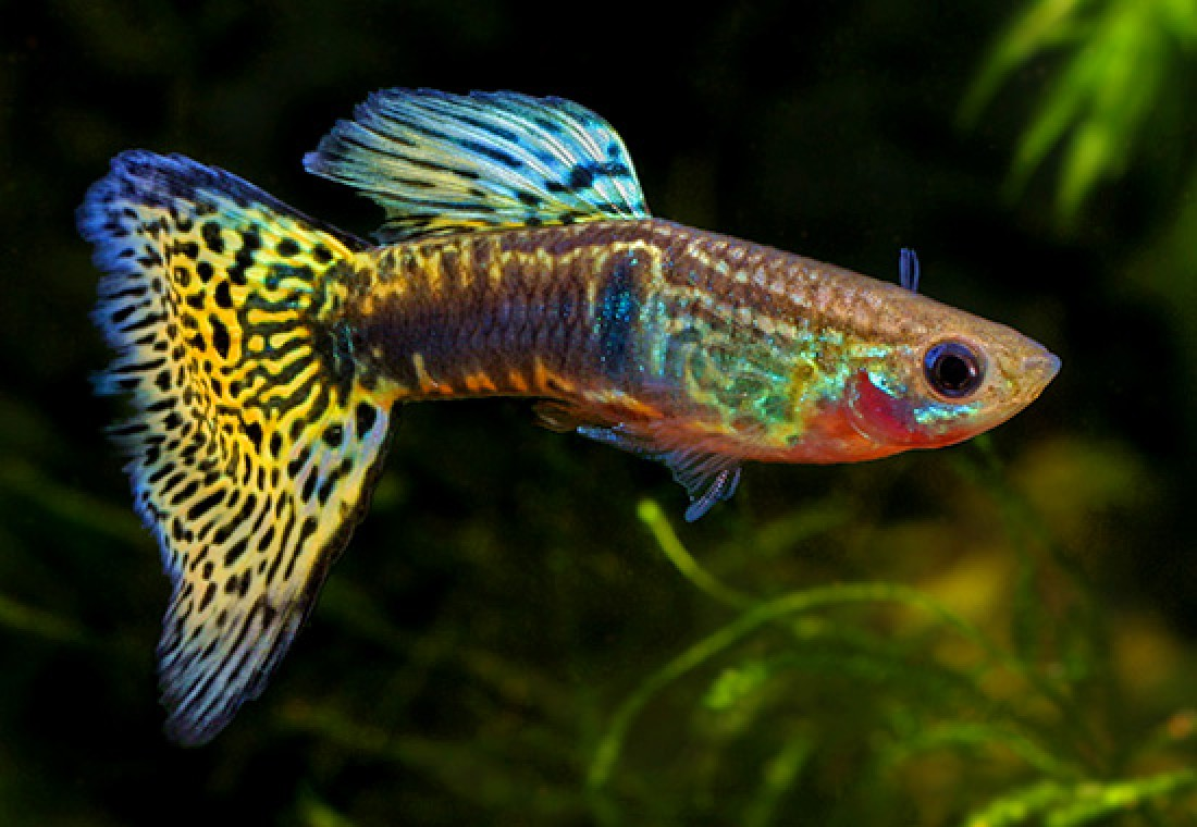 Quanto tempo aspettare prima di mettere i pesci nell for Acquario per pesci